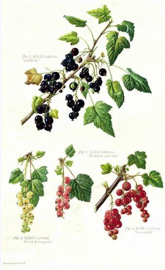 Ribes nigrum & Ribes rubrum var. Currants, by Hazel West.