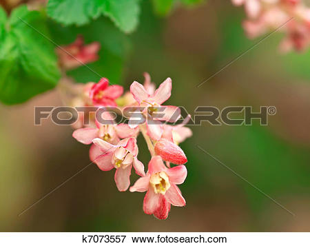 Picture of Flowering red Currant (Ribes sanguineum) k7073557.