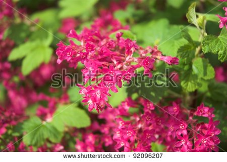 Ribes Sanguineum Flowering Currant Bloom In Spring Stock Photo.