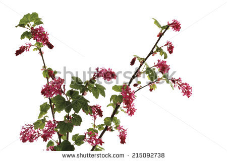 Ribes Sanguineum Stock Photos, Images, & Pictures.