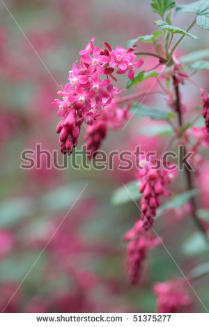 Flowering Currant Stock Photos, Royalty.