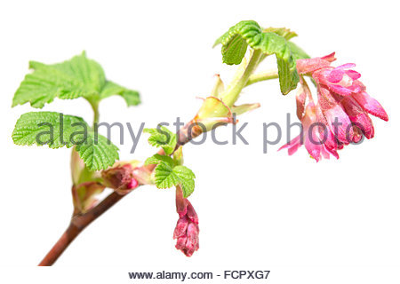 Closeup Of Red Ribes Sanguineum, Flowering Currant, Flowers. It Is.