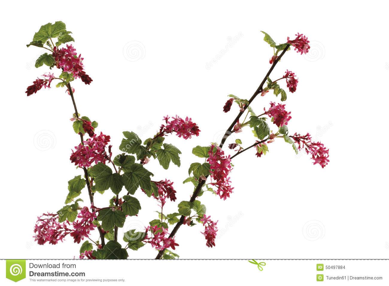 Flowering Currant (Ribes Sanguineum), Flowering Twig Stock Photo.