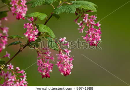 Ribes Sanguineum (Flowering Currant Or Red.