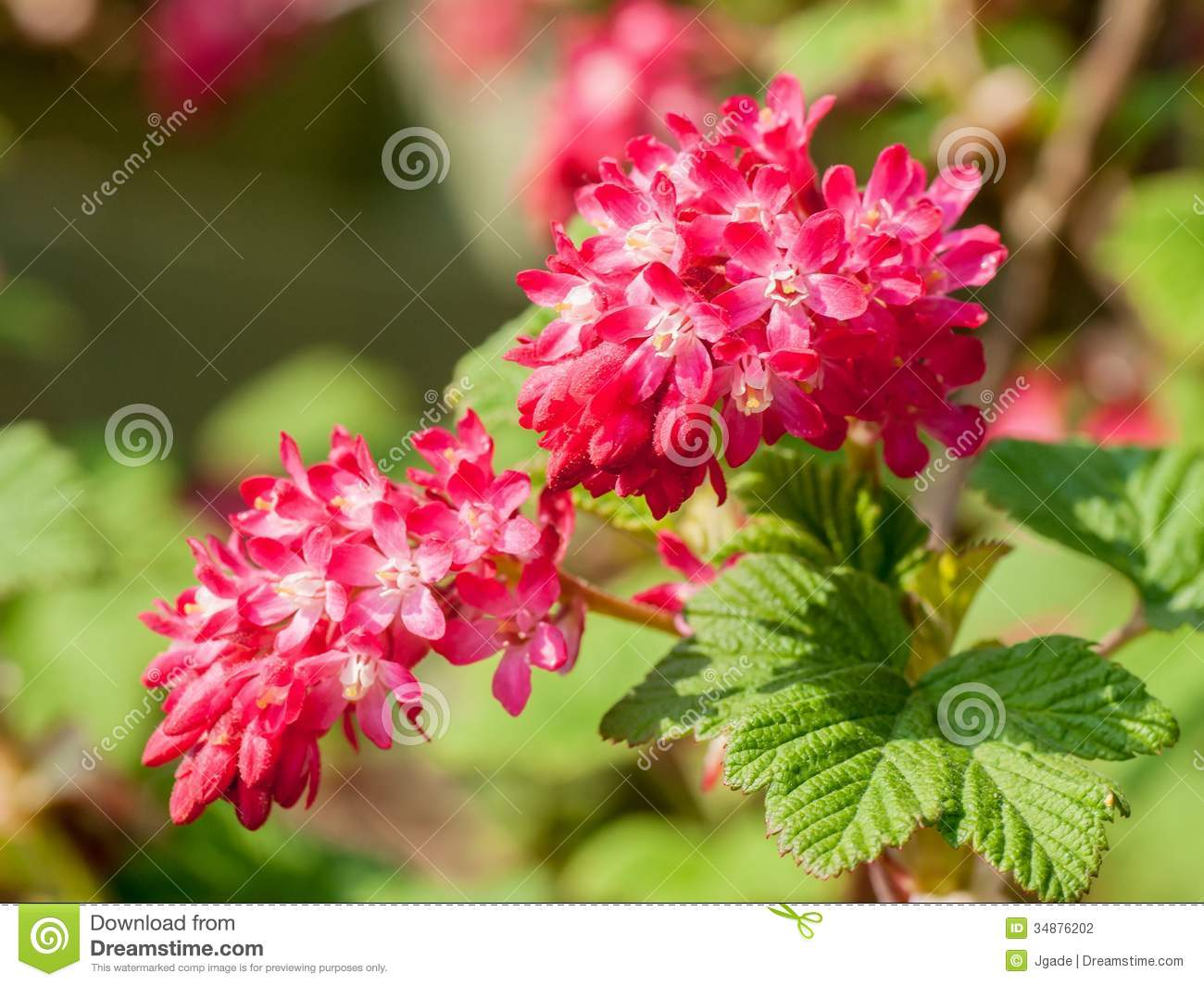 Ribes Sanguineum Flowers Stock Photography.