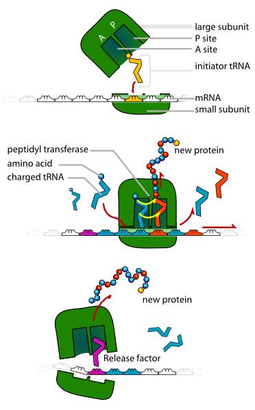 Ribosomes Clipart.
