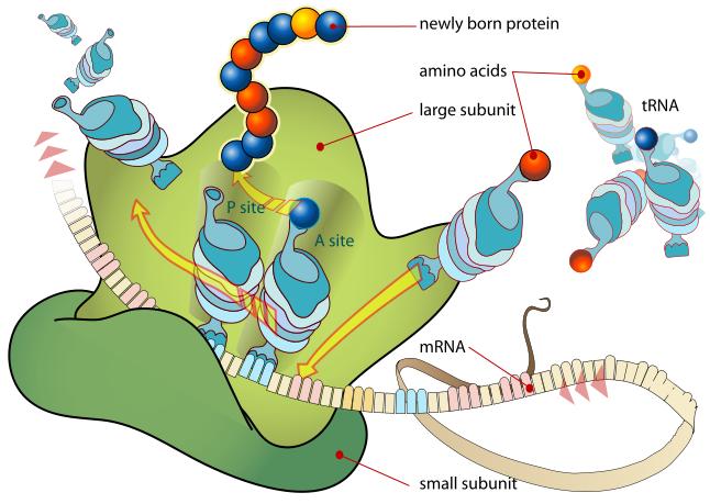 Diagram Of Ribosomes.