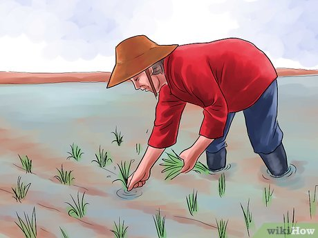 How to Grow Rice.