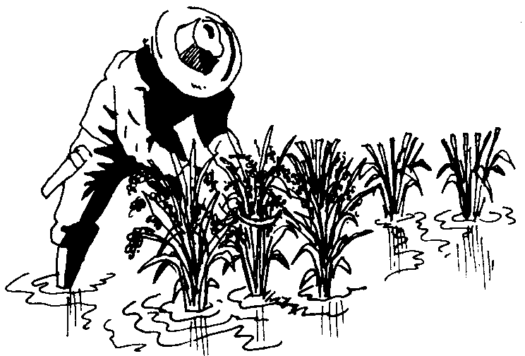 rice cultivation clipart