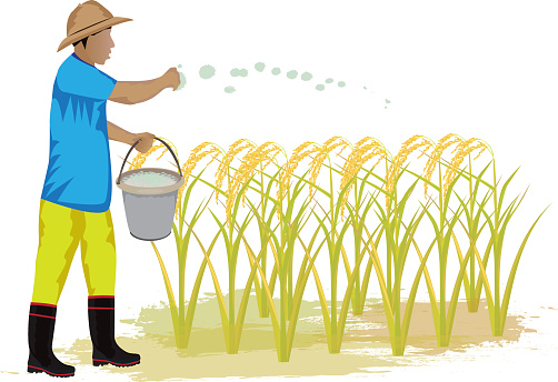 Rice Planting Clip Art, Vector Images & Illustrations.