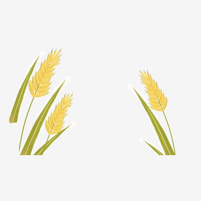 Grain Rice, Wheat, Rice, Grain PNG Transparent Clipart Image.