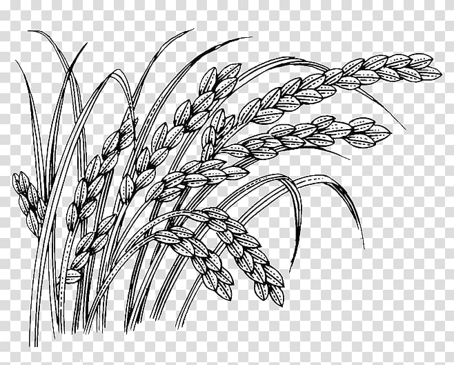 Oryza sativa, wheat transparent background PNG clipart.