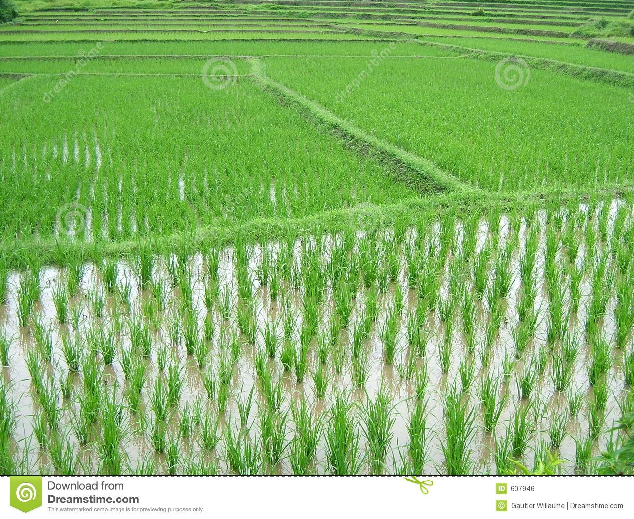 Rice Plantation Royalty Free Stock Image.