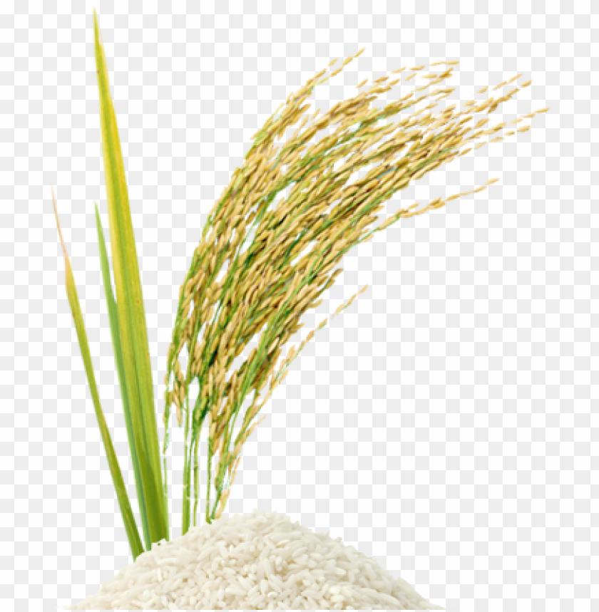rice stalk png.