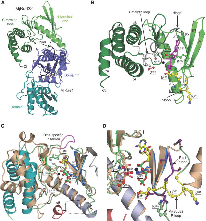 Structure of the archaeal Kae1/Bud32 fusion protein MJ1130: a.