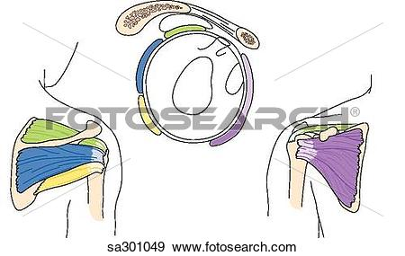 Stock Illustration of Three images showing the anatomy of the.