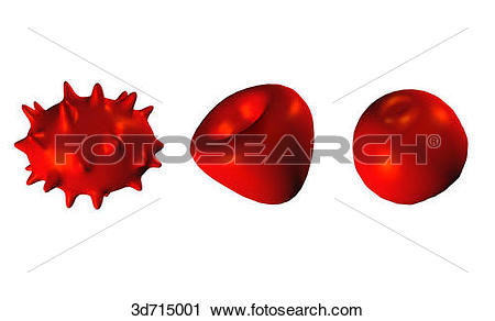 Clipart of Red blood cells of irregular shape: echinocyte (left.