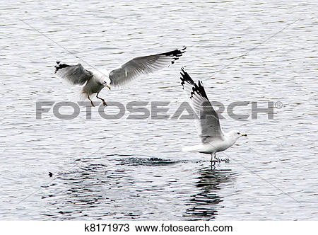 Stock Photo of Two ring billed gulls. k8171973.