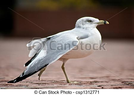 Stock Photography of dancing ringbilled gull.