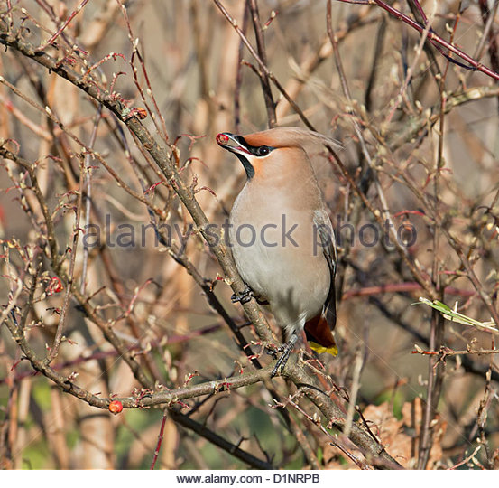 Bohemian Waxwing Winter Uk Stock Photos & Bohemian Waxwing Winter.