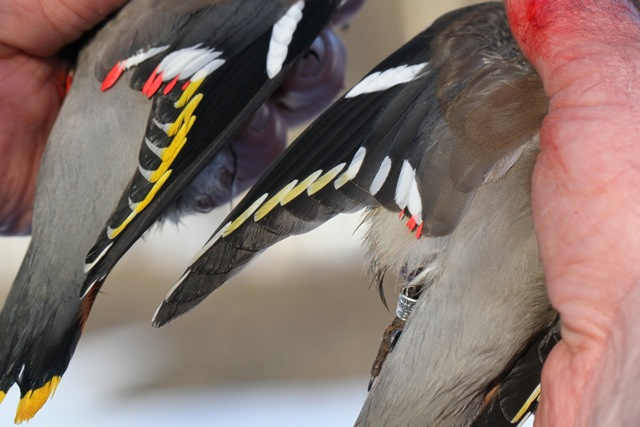 Waxwings in Finland, revisited and ringed.