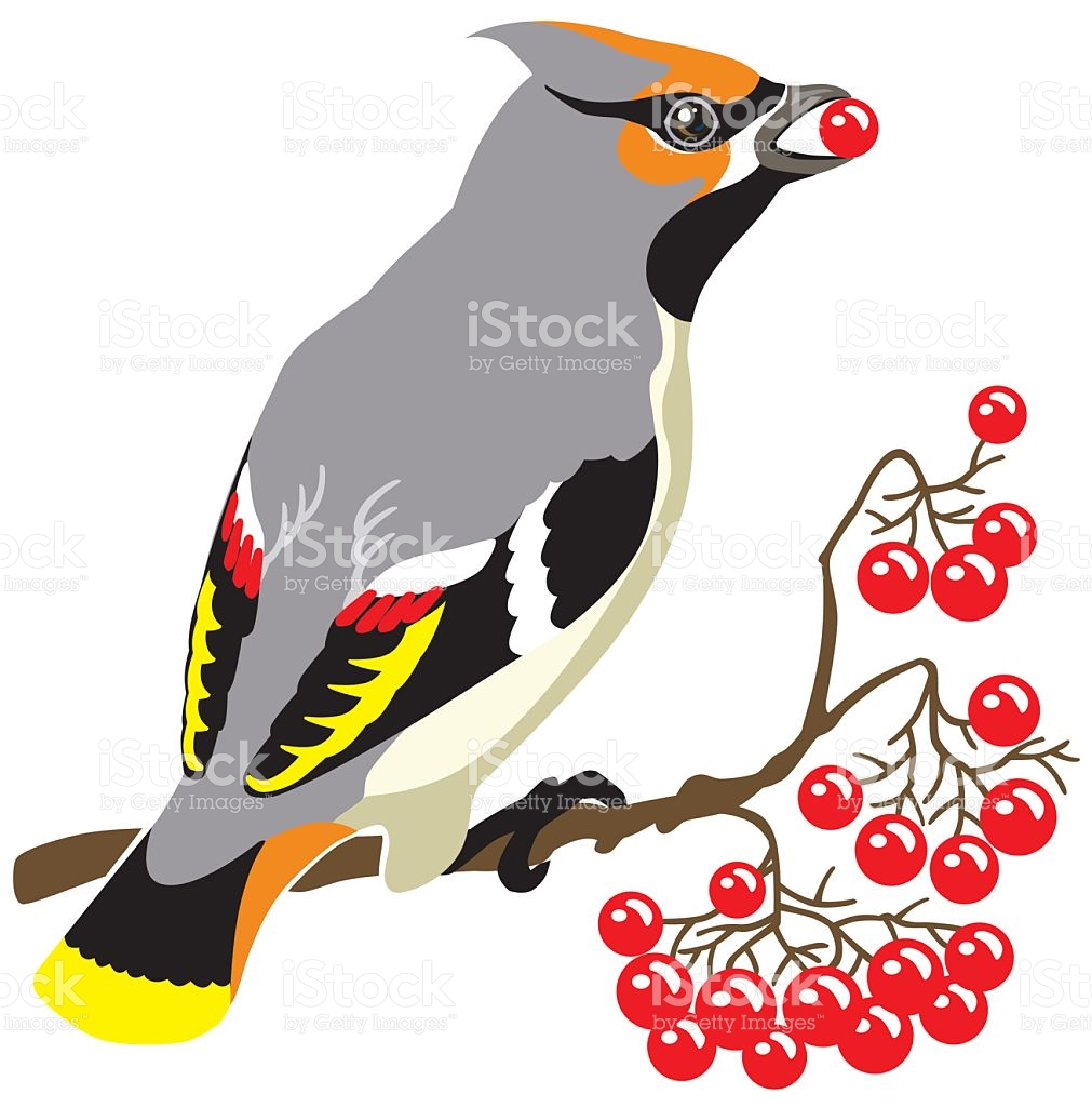 Bohemian Waxwing stock vector art 501853290.