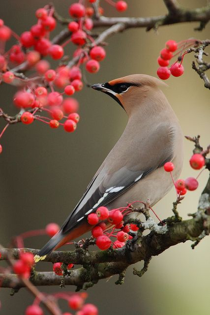 1000+ images about Cedar Wax Wings on Pinterest.
