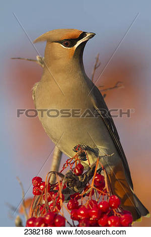 Pictures of Bohemian Waxwing perches to eat in colorful Mountain.