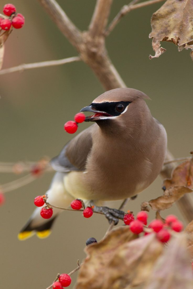 1000+ images about Cedar Waxwings on Pinterest.