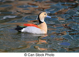 Stock Photo of Ringed Teal Duck (Callonetta Leucophrys).