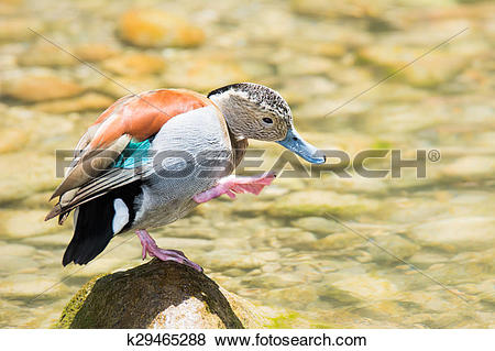 Pictures of Ringed Teal Duck k29465288.