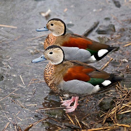 Top 540 ideas about Ducks on Pinterest.