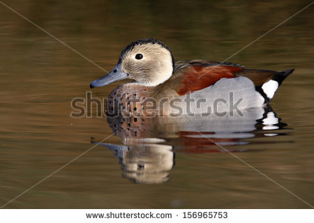 Teal Duck Stock Photos, Royalty.