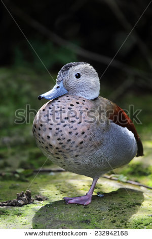 Spotted Dove Bird On Tree Branch Stock Photo 80602786.