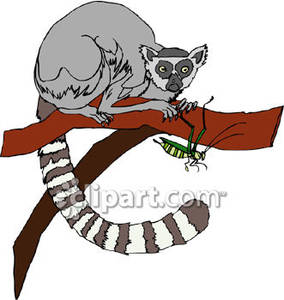 Tailed Lemur In A Tree.