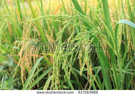 Ripe Rice On Plant Close Paddy Stock Photo 81847744.