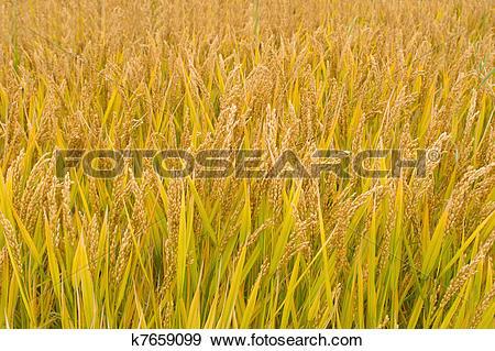Stock Photograph of Ripe rice paddy k7659099.