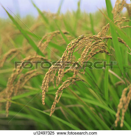 Picture of Harvest, Ripe rice plants, grain, western food, Bent.