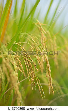 Stock Photography of The ripe rice in the fields k13790860.