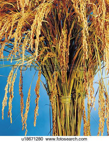 Ripe rice plants Stock Photo Images. 5,589 ripe rice plants.