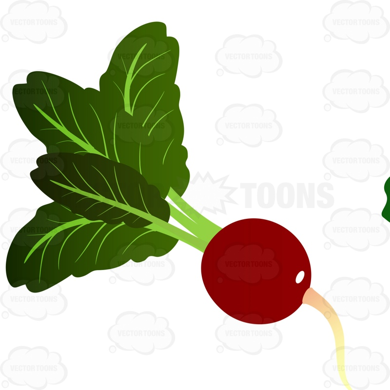 Ripened Radish With Bright Green Leaves Coming From Stem Cartoon.