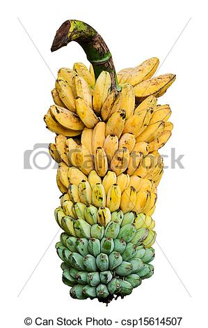Stock Photography of Bunch of ripening bananas on tree csp15614507.