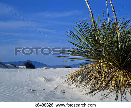 Stock Images of Yucca plant in rippled sand dunes in White Sands.