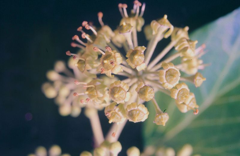 Efeu: Pollenwarndienst.