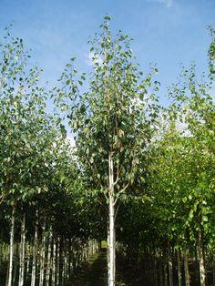 Sorbus ulleungensis 'Dodong''.