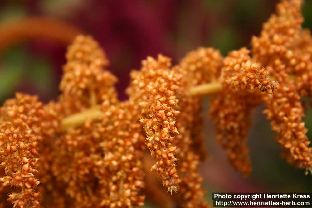 Photo: Amaranthus cruentus 2..