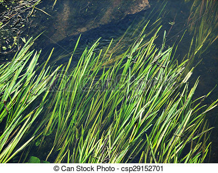 Stock Photography of forest river algae in cold clear waters.