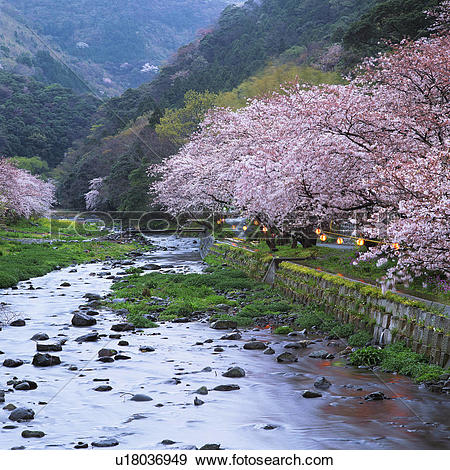 Stock Photograph of Cherry blossom trees and river in Shizuoka.