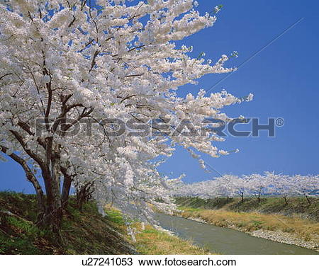 Stock Photo of Cherry tree blossoming by a river, Nyuzen.