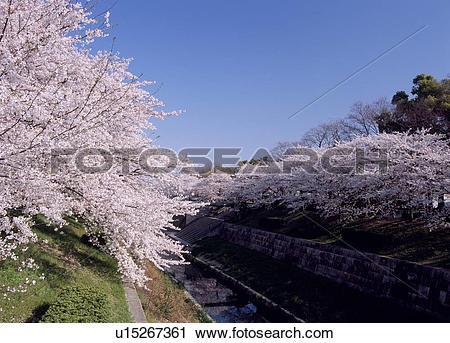 Stock Photography of Cherry Blossoms At Yamazaki River u15267361.